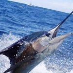 miami-sailfish-1-lg-1.jpg